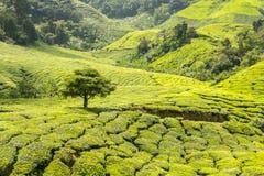 Eenzame boom op groene weide Stock Afbeelding