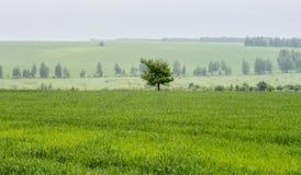 Eenzame boom op het gebied royalty-vrije stock afbeelding