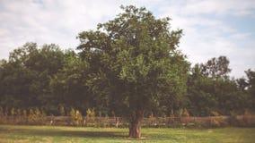 Eenzame boom op het gebied Stock Foto