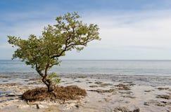 Eenzame boom op strand Stock Afbeelding