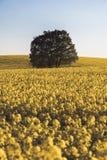 Eenzame boom over het canolagebied Stock Afbeeldingen