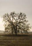 Eenzame boom in platteland Stock Afbeelding
