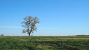 Eenzame boom tegen een achtergrond van groen gras en blauwe hemel stock footage