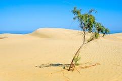 Eenzame boom in woestijn. stock afbeeldingen