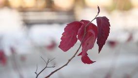 Eenzame boomtak met rode de sneeuwaard van de bladerenwinter stock video