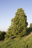 Eenzame boomtribunes op een helling Stock Afbeelding