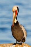 Eenzame bruine pelikaan Stock Foto's