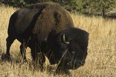 Eenzame buffels in lang gras. Stock Afbeelding