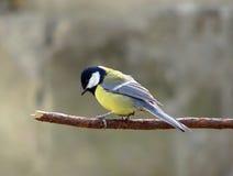 Eenzame Chickadee Royalty-vrije Stock Foto's