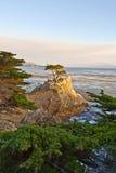 Eenzame cipresboom in Californië Stock Fotografie