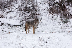 Eenzame Coyote in een de winterlandschap Royalty-vrije Stock Foto