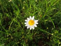Eenzame Daisy stock afbeeldingen