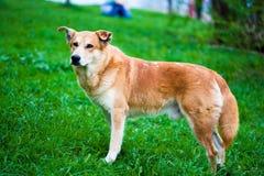 Eenzame dakloze hond Stock Fotografie