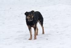 Eenzame dakloze hond die in de sneeuw wandelen Stock Foto