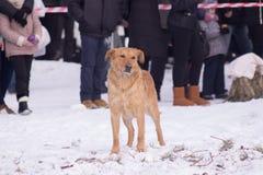 Eenzame dakloze hondverblijven op sneeuw Royalty-vrije Stock Afbeelding