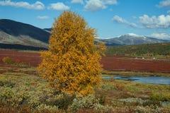 Eenzame de herfst gele lariks in de bergen stock afbeelding