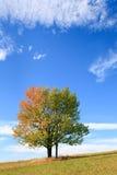 Eenzame de herfstboom op hemelachtergrond. Stock Foto