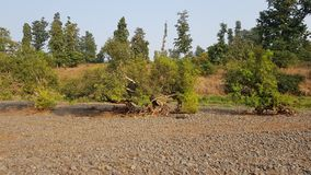 Eenzame die boom in stenen wordt gekweekt Royalty-vrije Stock Fotografie