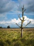 Eenzame dode boom op dopheideland in Nederland stock foto's
