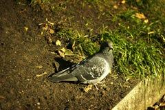 Eenzame duif stock foto's