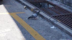 Eenzame duif op de kant van de weg Stock Afbeeldingen