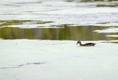 Eenzame eend die in een vijver zwemmen Royalty-vrije Stock Afbeelding