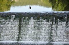 Eenzame eend op de cascade Stock Foto