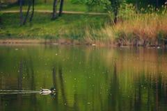 Eenzame eend op het meer Stock Foto's