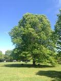 Eenzame eik in het park royalty-vrije stock fotografie