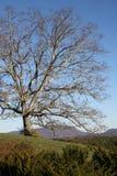Eenzame eiken boom Royalty-vrije Stock Fotografie