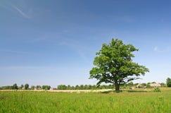 Eenzame eiken boom royalty-vrije stock foto