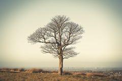 Eenzame eiken boom in Lyme-Park, de winterdag van Stockport Cheshire England Stock Afbeelding