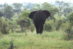 Eenzame elefant Stock Foto