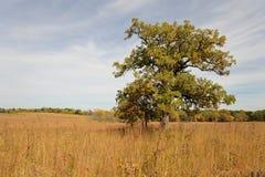 Eenzame esdoornboom op prairie Royalty-vrije Stock Foto's