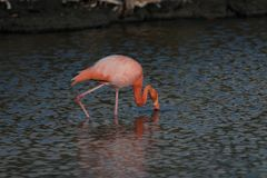 Eenzame flamingo op de Eilanden van de Galapagos stock foto's