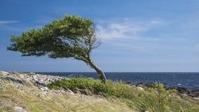 Eenzame gebogen boom door de overzeese kust Royalty-vrije Stock Foto