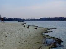 Eenzame geeses op de rivier in de winter stock foto