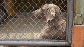 Eenzame Gekooide Honden, Hoektanden, Verwaarlozing, Misbruik stock footage