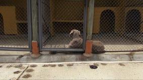 Eenzame Gekooide Honden, Hoektanden, Verwaarlozing, Misbruik stock video