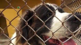 Eenzame Gekooide Honden, Hoektanden, Verwaarlozing, Misbruik stock videobeelden