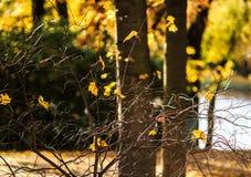 Eenzame gele bladeren Royalty-vrije Stock Afbeelding