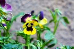 Eenzame gele purple van de viooltjebloem Stock Foto's