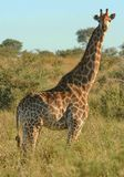 Eenzame Giraf Royalty-vrije Stock Foto's