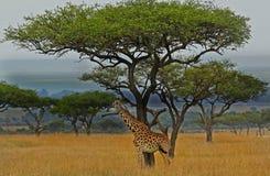 Eenzame Giraf die zich op de open vlaktes met een grote acaciaboom bevinden op de achtergrond Royalty-vrije Stock Foto
