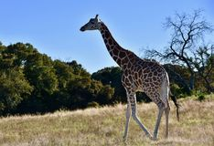 Eenzame Giraf: Giraffacamelopardalis, Fossiel Rim Wildlife Center royalty-vrije stock fotografie