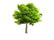 Eenzame groene boom die op wit wordt geïsoleerdt