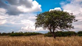 Eenzame groene boom op een landelijk gebied en hemel met stock video