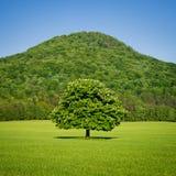 Eenzame groene paardekastanjeboom in de lente Stock Foto's