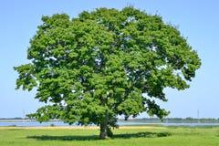 Eenzame grote boom op groen gebied op een duidelijke hemel als achtergrond royalty-vrije stock afbeelding