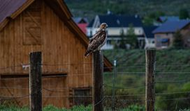 Eenzame Havik royalty-vrije stock foto's